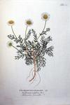 Chamomilla Romana off. - Anthemis nobilis bot.