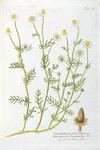 Chamomilla vulgaris off. - Matricaria Chamomilla bot.