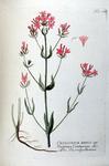 Centaurium minus off. - Gentiana centaurium bot.