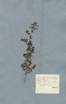 Galium foliis quaternis lanceolatis