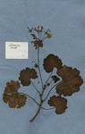 Geranium zonale