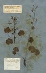 GEUM rotundifolium majus. T.