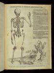 [6. variante]: Skeleton a tergo delineatum.