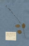 HEDYSARUM foliis simplicibus