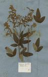 Hedysarum triphyllum