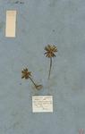 Aconitum unifolium bulbosum