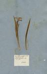 Iris bulbosa angustifolia tricolor
