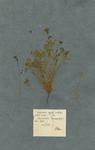 Isopyrum stipulis subulatis, petalis acutis