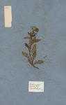 Jacobea montana