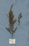 Juniperus fructu parvo