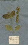 Justicia arborea, foliis lanceolato-ovatis