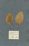 Kaempferia foliis lanceolatis petiolatis