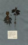 Kalmia foliis lanceolatis