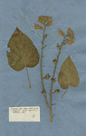 Nicotiana foliis cordatis, corollis racemosis
