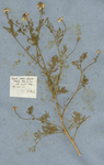 """Nigella Cretica latifolia odorata. Park. et Tourn.  --- alba simplici flore.  Alp. exot. 261. H Mars."""