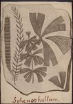 Sphenophyllum
