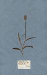 Orchis palmata montana maculata