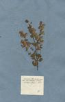 Origanum foliis omnibus tomentosis