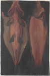 Pesce [carpa]