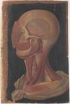 Muscoli della testa e del collo