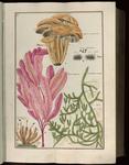 [Agaricus annularius Bul.]