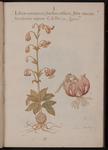 Lilium montanum