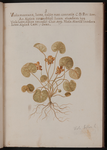 Viola montana