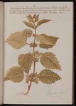 Galeopsis, sive Urtica iners