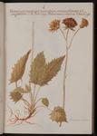 Hieracium murorum