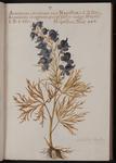 Aconitum cæruleum
