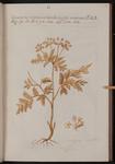 Cicutaria montana