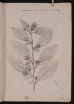 Belladonna majoribus folijs et floribus