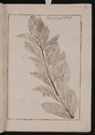 Ruscus angustifolius