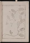 Convolvolus minor arvensis