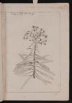 Tithymalus characias