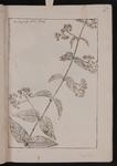 Asclepias albo flore