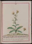 Cardus stellatus