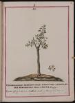 Chamæcerasus montanus