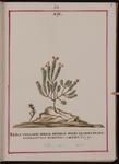 Erica vulgaris minor
