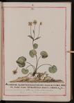Aconitum alpinum pardalianches