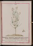 Genista spartium