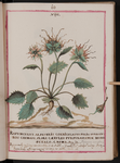 Rapunculus alpestris corniculatus