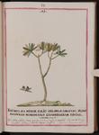 Thymelæa minor