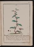 Solanum spurium racemosum