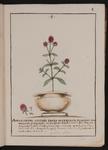 Amarantho affinis indiæ orientalis