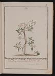 Pisum vesicarium