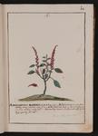 Amaranthus maximus
