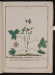 Geranium lucidum saxatile