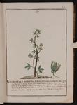 Granadilla triphylla