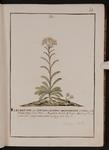 Elichrysum seu Stæchas citrina angustifolia